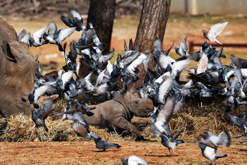 Pigeons fly nearby as a white rhinoceros, named Karen Peles, stands next to her second calf, a 3-week old female, at the Safari Zoo, in Ramat Gan, Israel