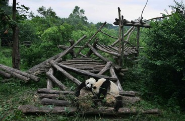 Two giant pandas rest at a panda park on the outskirts of China's Chengdu.