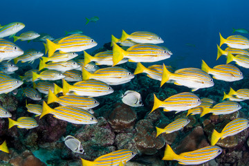 Blue Striped Snappers Swim at Cocos Island in Costa Rica
