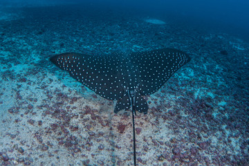 Spotted Eagle Ray at Cocos Island, Costa Rica
