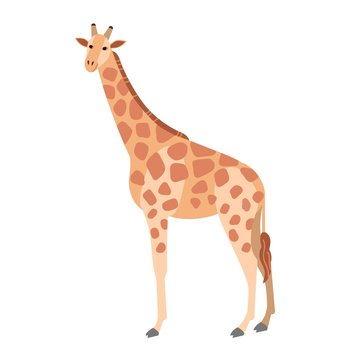 Cute giraffe isolated on white background