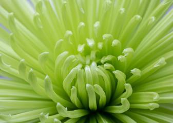 Green chrysanthemum macro