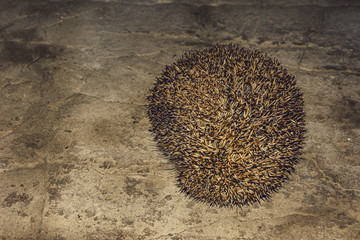 A wonderful hedgehog explores the house and shoots out of it
