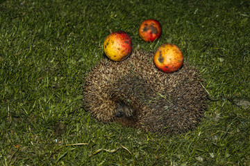 Hedgehog with apples on their needles walks green grass