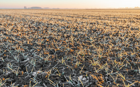 Small winter wheat plants covered with hoarfrost