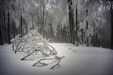 In the winter foggy beech forest