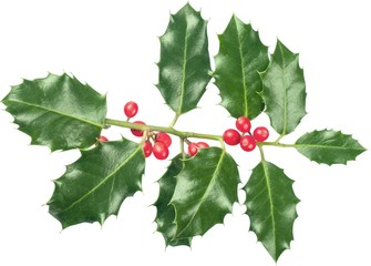 Cute holly leaves and berries, christmas decoration isolated on