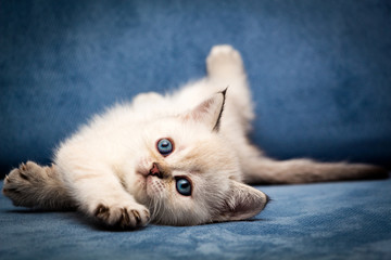 Cute British kitten BRI n 33 seal point color with blue eyes funny lay down on the couch and looks up