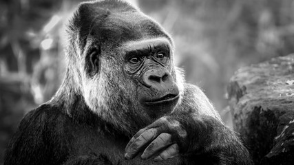 Fototapete - Black and white portrait of a gorilla