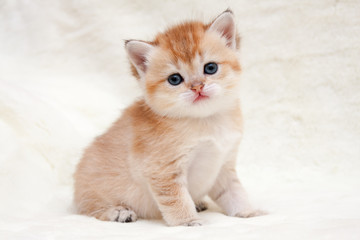 A small orange British kitten sits in front of the camera and looks forward, female british shorthair cat BRI ny 25 black golden ticked color