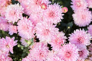 pink chrysanthemum flowers in the garden