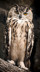 Wall Mural - The adult Eurasian eagle owl sits on a tree branch.