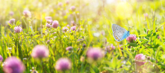Bright natural summer background. Summer landscape with  beautiful butterfly on the blooming flowers of clover