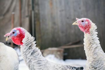 Turkey on a farm , breeding turkeys. Turkeys on the farm yard in the village
