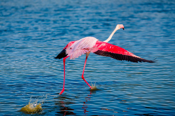 Pink flamingo bird flies up from water against blue sky