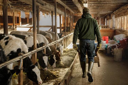 Farmer in Tie Stall