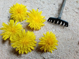 Flores amarillas silvestres en la arena