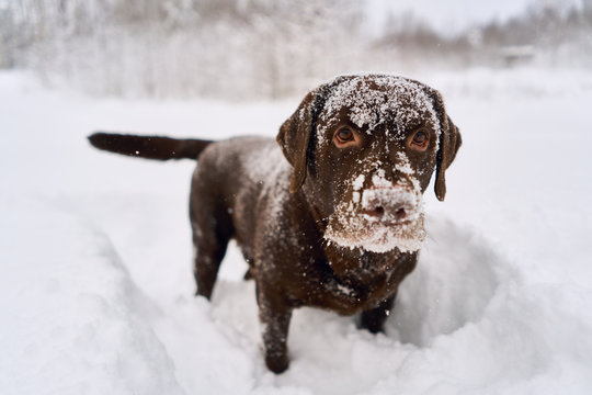 Labrador dog playing in the snow. dog portrait all muzzle in the snow,