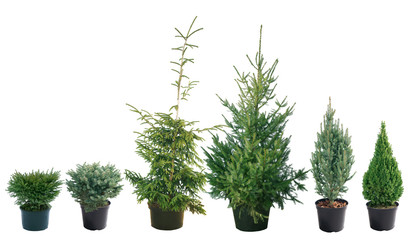 Fototapeta Picea - different varieties, shapes and sizes obraz
