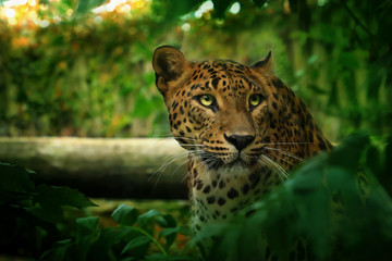 Leopard in green nature