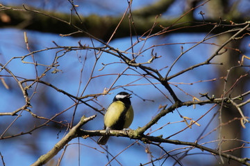 Great Tit Singing in Winter
