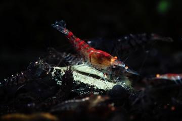 Orange eye red tiger shrimp eat nature pets