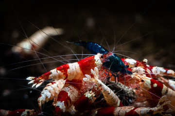 Crystal red shrimp swarm eat aquarium pets