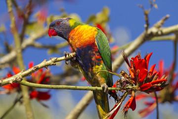 Brightly Colored Rainbow Lorikeet in Western Australia