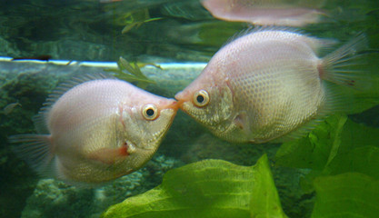 PAIR OF TROPICAL KISSING FISH AT SHOP IN SHANGHAI.