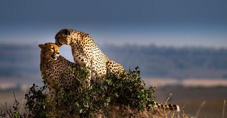 Obraz Two cheetahs on rock - fototapety do salonu