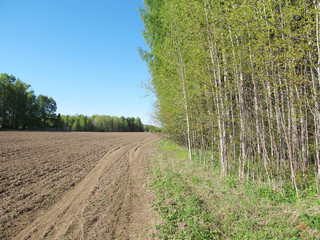 Russian forest with green trees near the earthen road