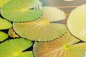 Lotus leaf in the pool.