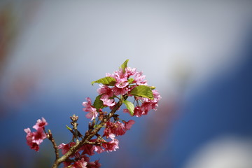 Beautiful sakura flower (cherry blossom) in spring. sakura tree flower on blue sky
