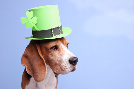 Cute little dog wearing a green Leprechaun's hat