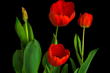 Bunch of Red Tulip Flowers on Black Background