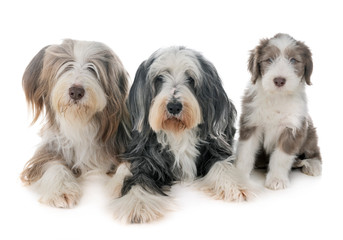 Wall Mural - family bearded collie