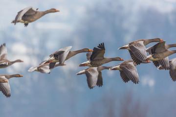 gray geese group (anser anser) in flight
