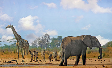 Beautiful Iconic African vista with Giraffe, Zebra and Elephant standing near a waterhole in Hwange National Park, with a natural blue cloudy sky and bushveld background.  Some heat haze is visible