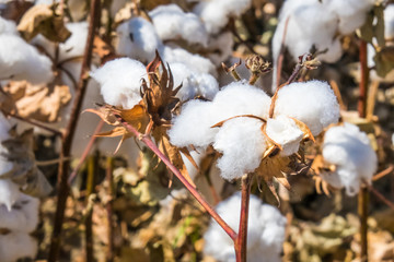 Ripe cotton fields