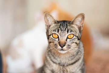 Tabby cat looking at camera, cute pet at home