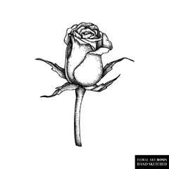 Rose botanical illustration. Hand drawn flower sketch. Black and wite style floral drawing. Hign detailed vintage plant