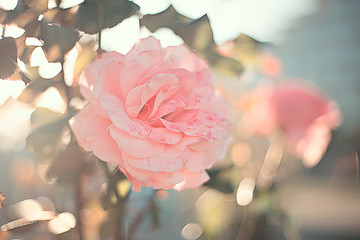delicate pink garden rose close up on a blurry background with highlights and bokeh