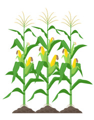 Corn stalks isolated on white background. Green corn plants on the field vector illustration in flat design.