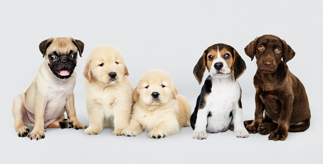 Wall Mural - Group portrait of five adorable puppies