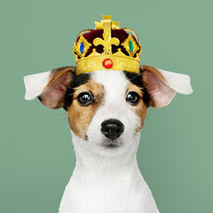 Cute Jack Russell Terrier in a classic red velvet and gold crown