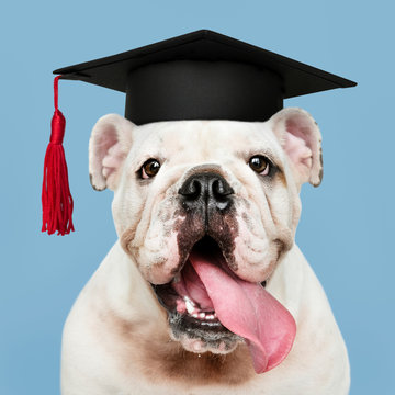 Cute white English Bulldog puppy in a graduation cap