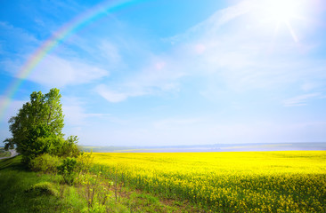 Fototapete - spring landscape background; yellow flower and blue sky