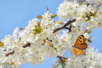 Kirschblüten mit Schmetterling