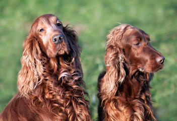 Dog love and care, beautiful furry irish setter dogs waiting for grooming