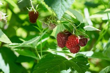 raspberry bush close up